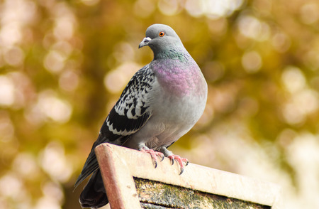 Pigeon standing on a wood, closeup, isolated. Stock Photo