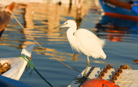 winger: The Great Egret (Ardea alba). White heron standing on a boat in the marina. Stock Photo
