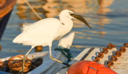winger: The Great Egret (Ardea alba). White heron eating fish on a boat in the marina.