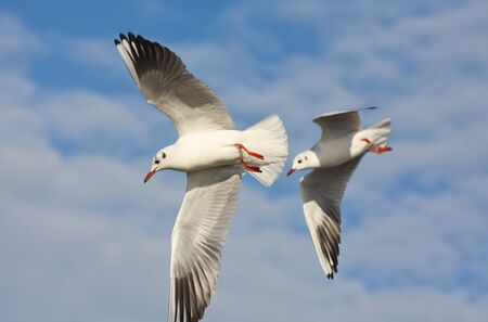 Seagulls flying with open wings over blue cloudy sky.
