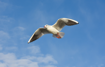 winger: Seagull flying over blue cloudy sky with open wings.