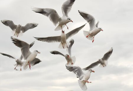 winger: Seagulls flying with open wings over sky with clouds. Stock Photo