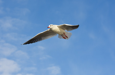 winger: Open wings seagull flying over blue sky with clouds.