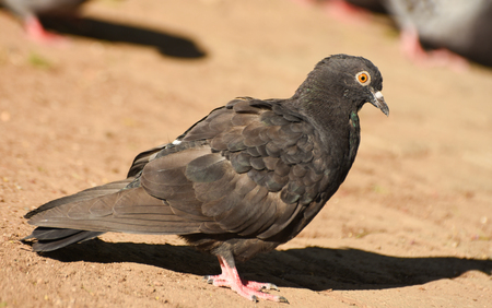 winger: Grey pigeon standing on sand, isolated, closeup.