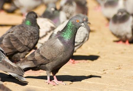 cuerpo entero: Pigeon de pie, aislado, de cerca.