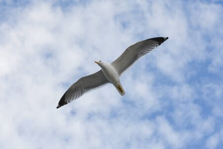 Seagull flying in blue sky with open wings.