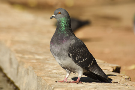 Pigeon standing on a wall, closeup, isolated.