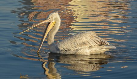 White pelican with open beak swimming on the blue sea.