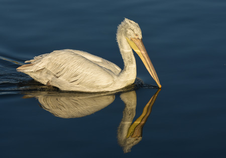 winger: White pelican swimming with reflection on the blue sea.