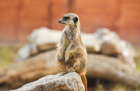 Meerkat standing on a rock, closeup, isolated.