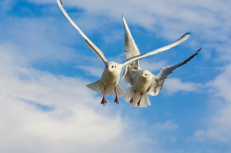 Seagulls flying over blue sky with open wings.