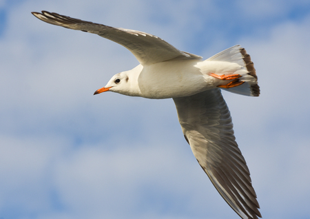 winger: Seagull flying over blue sky with open wings.