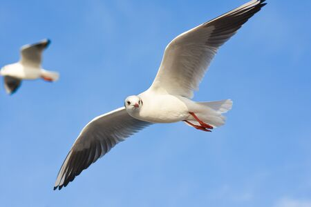winger: Seagulls flying over blue sky with open wings.