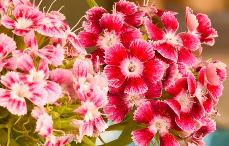Closeup pink and red flower Dianthus (Dianthus chinensis) in garden.