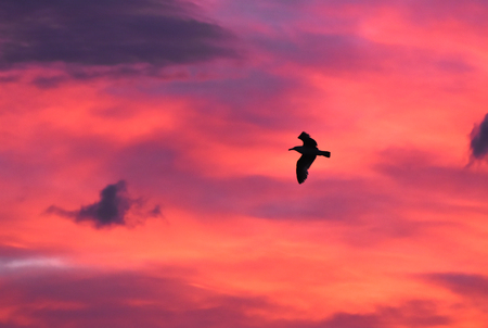 Seagull flying at sunset sky, silhouette. Clouds with orange, purple and red colors at sunset.