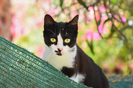 pete: Cat with yellow eyes looking at camera. Stock Photo