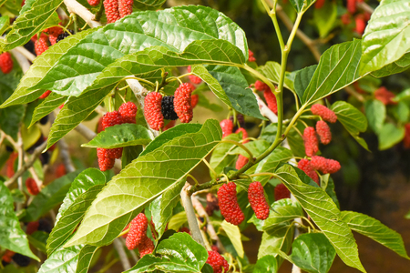 Fresh mulberry fruits on branch of red mulberry tree. Standard-Bild