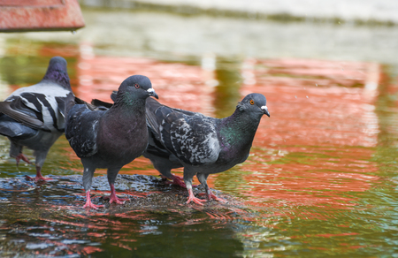 Pigeons (dove) standing on a rock near the water, isolated. Standard-Bild