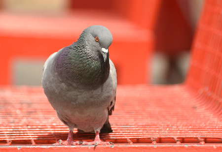Pigeon (dove) standing on red bench, isolated.