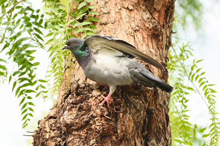 Pigeon (dove) standing on a tree, isolated.