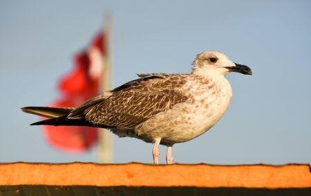 seagull standing on a wall Standard-Bild