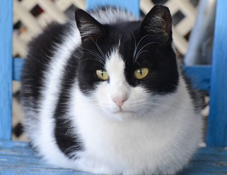 Black and white cat sitting on a blue chair. Standard-Bild