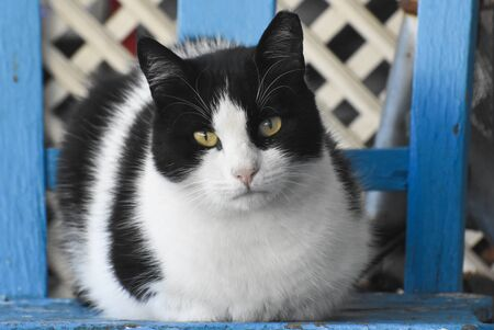 portrait of a black and white cat, cat looking at camera Standard-Bild