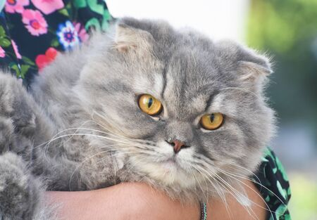 Exotic Shorthair cat with yellow eyes
