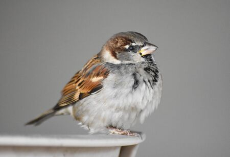 little sparrow standing on a chair, isolated
