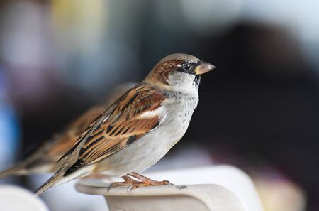 Sparrow standing on a chair, isolated