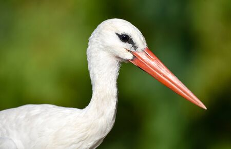 White stork portrait on green background, closeup, isolated