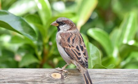 Sparrow standing on a wood, isolated, closeup.