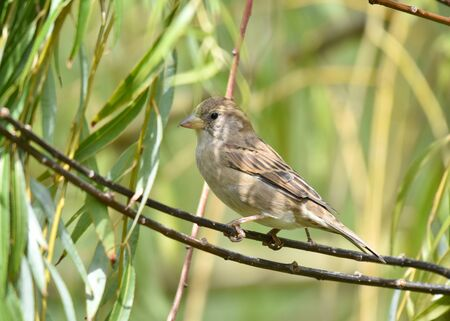 Sparrow standing on a branch, isolated, closeup.
