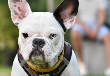 portrait of a bulldog with different colours eyes Standard-Bild
