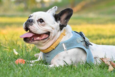 Dog french bulldog lying on the grass and playing a ball. Standard-Bild