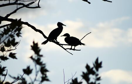 Silhouette of Cormorant birds on branches of a tree.