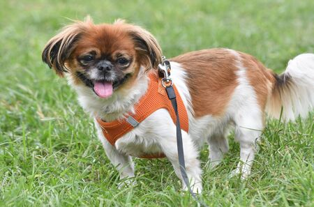 Pekinese - chihuahua dog standing on green grass.