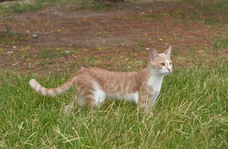 Cat standing on the grass and looking at forward.