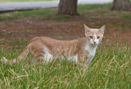 Cat standing on the grass and looking at camera. Standard-Bild
