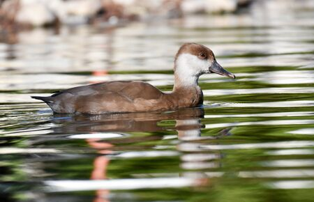 White and brown duck swimming on green water