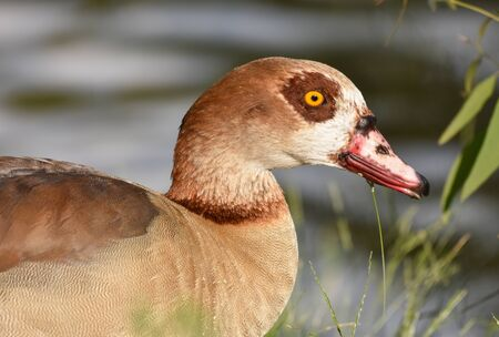 Portrait of Egyptian goose, closeup, isolated.