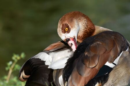 Egyptian goose cleaning feathers near water. Standard-Bild