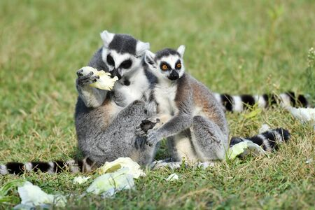 Mother and baby ring tailed lemurs eating on green grass.