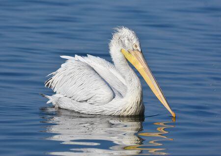 White pelican swimming on blue sea, isolated, closeup.