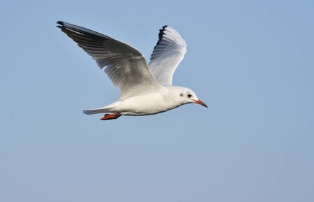 Seagull flying with open wings, closeup, isolated.
