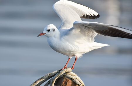 Seagull with open wings standing on a rope Stock Photo