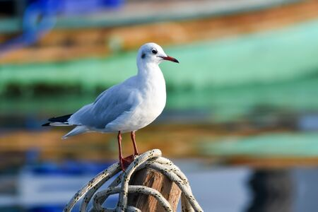 Seagull standing on a rope in front of colorful boat. Standard-Bild