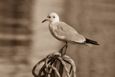 Seagull standing on a rope, black and white photo Standard-Bild