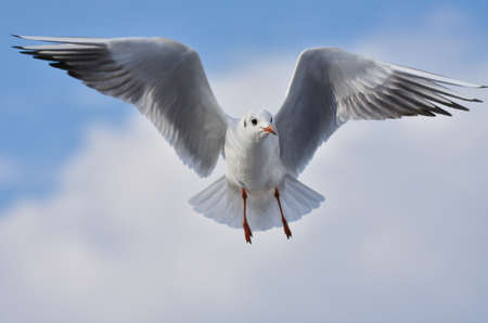 Seagull flying with open wings