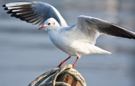 Seagull standing on a wood with open wings Zdjęcie Seryjne
